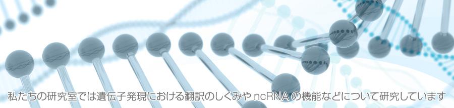 私たちの研究室では遺伝子発現における翻訳のしくみやncRNAの機能などについて研究しています